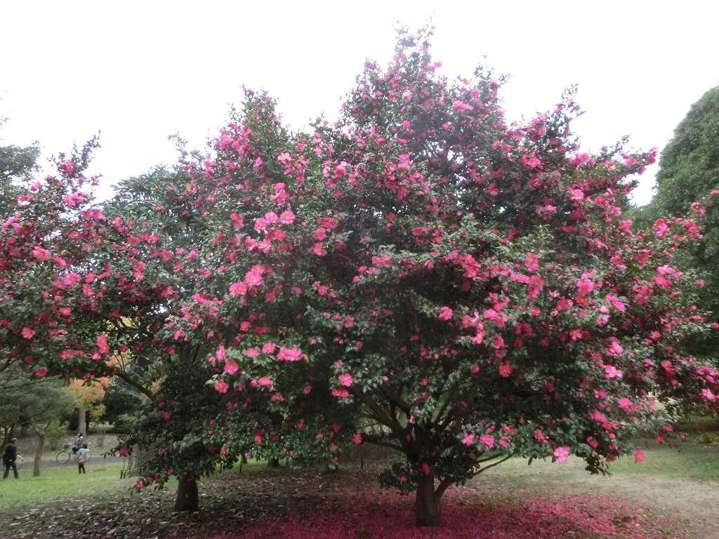 山茶花の花弁で木の根元はピンク一色です