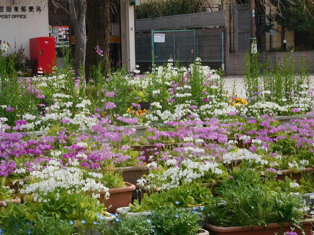 エダキン広場にはプリムラの花が一杯咲いてます