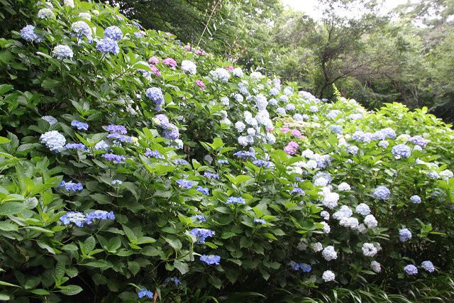「妙楽寺」の紫陽花 あっちもこっちも紫陽花!!