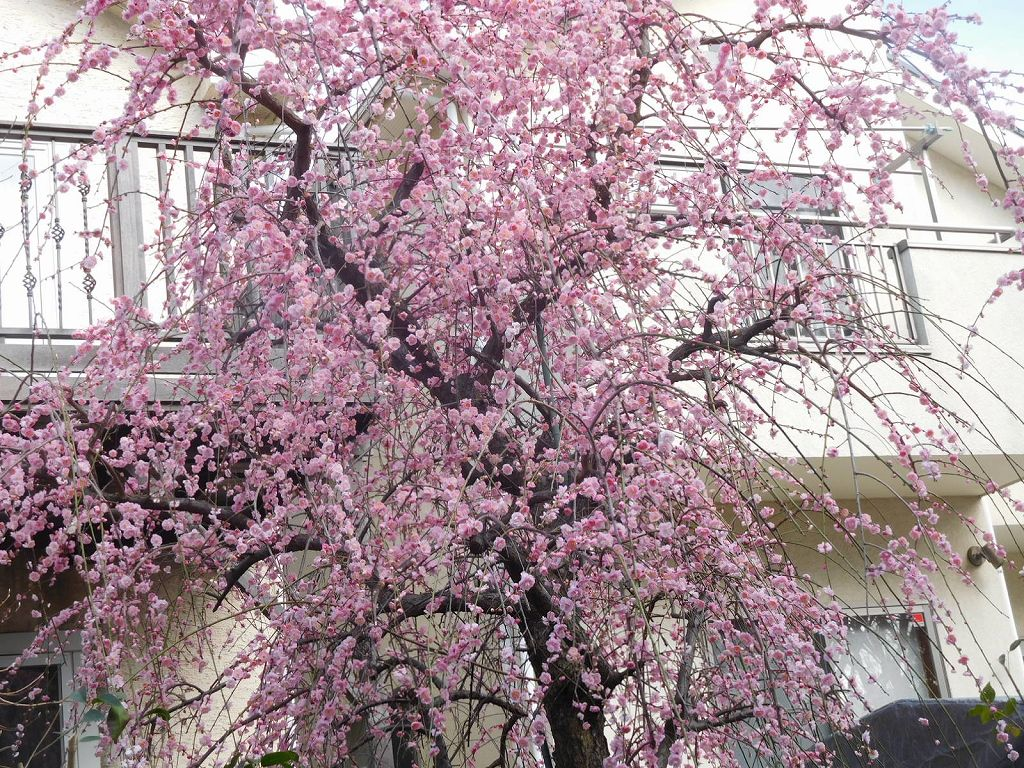 泉田向公園 先の御宅では枝垂れ梅が満開でした