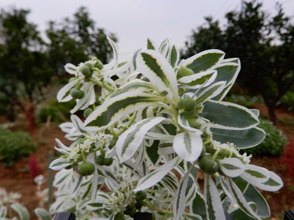 荏田南の民家に咲く初雪草 毎年株が増えているそうです