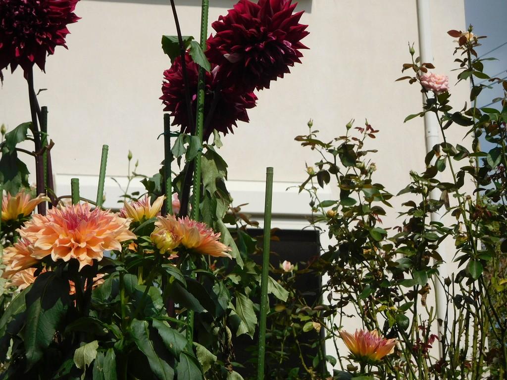 花いっぱいのお庭に咲いているダリア 何時来ても花が多いお宅です