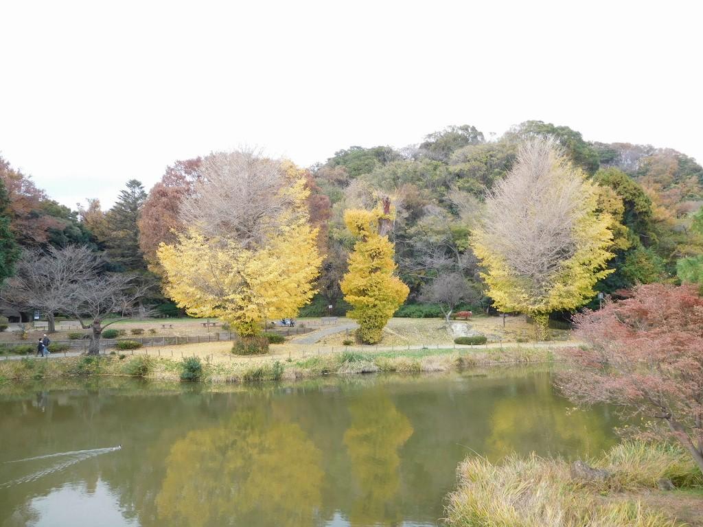 例年ならもっと黄葉が綺麗だが台風による塩害で残念な黄葉
