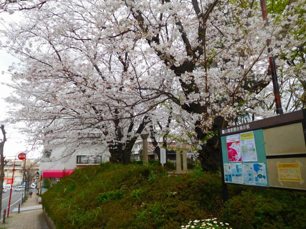 市ヶ尾第三公園の桜は満開です