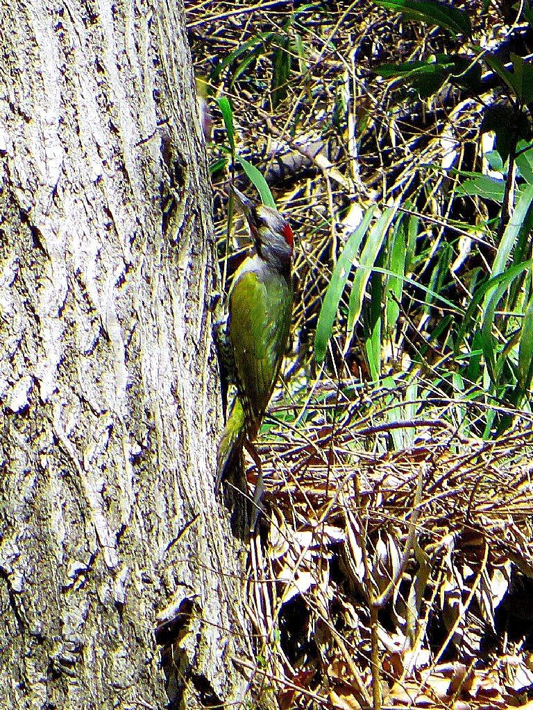 市が尾横穴古墳公園でH氏が撮影したアオゲラか?羽根の色が綺麗です