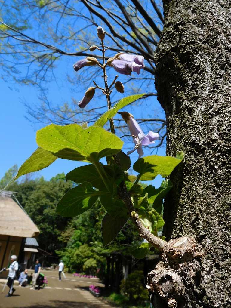 都筑民家園の「桐」の樹に小さな枝へ花が咲いていました