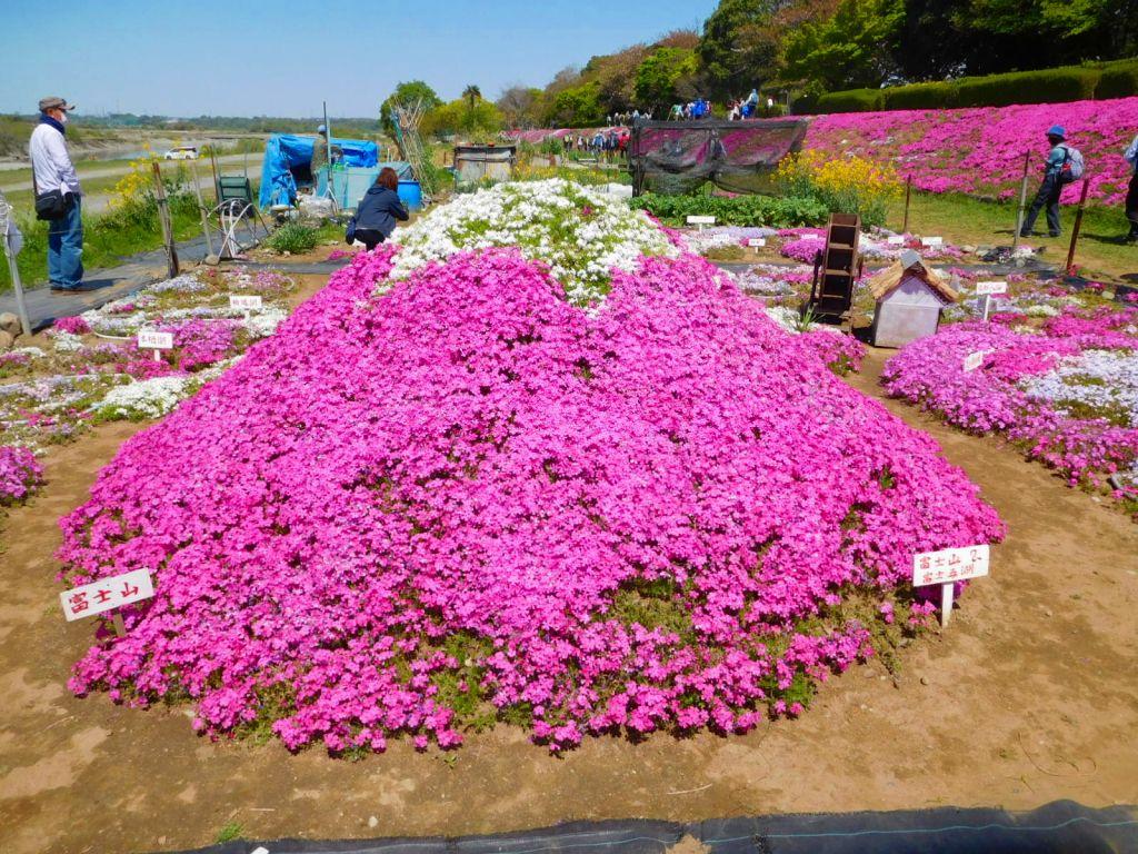 同 芝桜の富士山