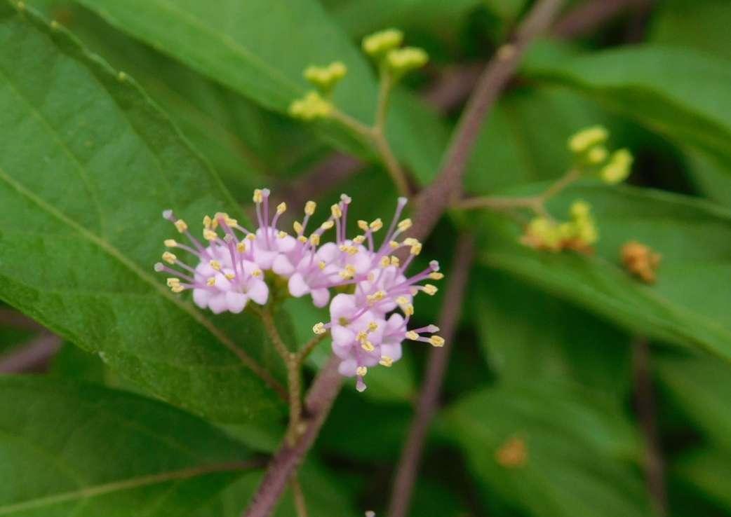 区役所には紫式部の可憐な花が咲いてました