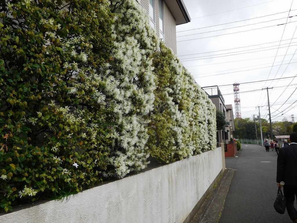 荏田西2丁目住宅の白マンサクも綺麗に咲いています