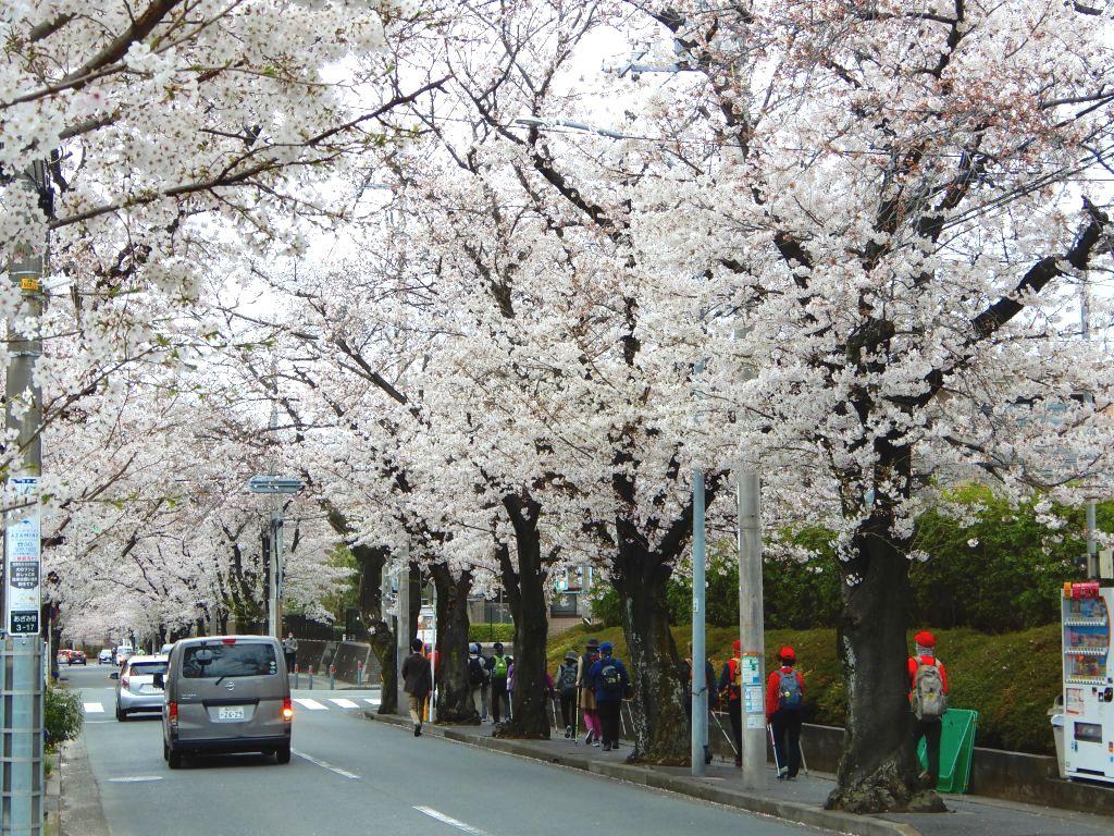 同上  桜を満喫しましたか?