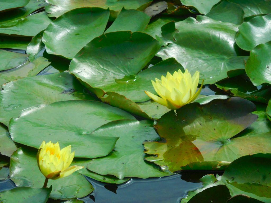 もえぎ野公園の池にはバンはいなくて睡蓮が咲いてました