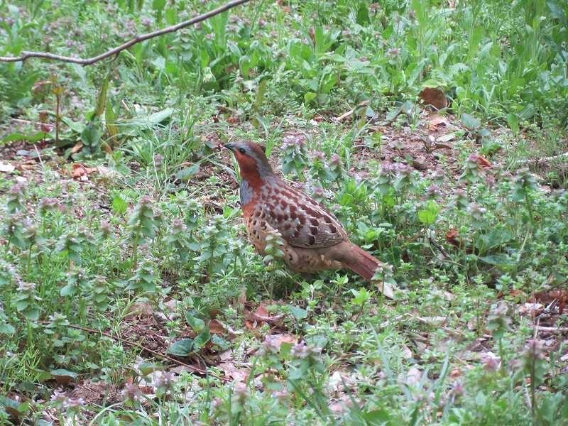 野原から鶉によく似た小鳥が三羽姿を見せる何故か人慣れしている