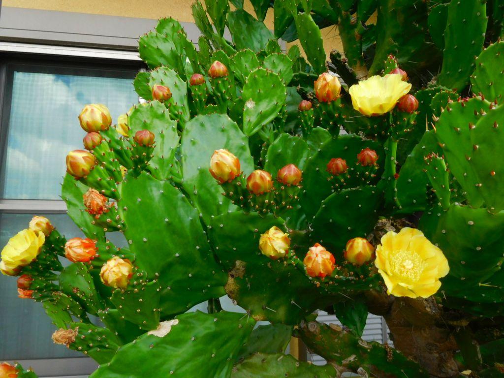 今年も一杯咲いていますサボテンの花