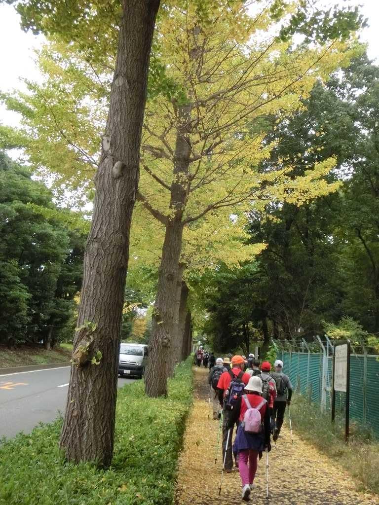 「見花山」付近の黄葉、一葉の落葉で道路も全面黄色です