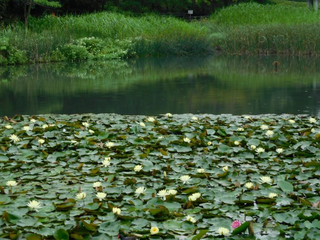 もえぎ野公園は睡蓮が満開です