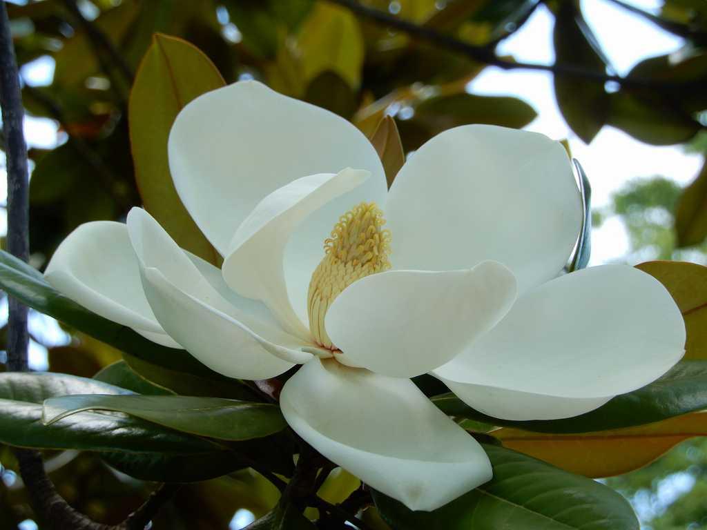 泰山木の花も開ききっている状態ですが、雄々しい感じですね