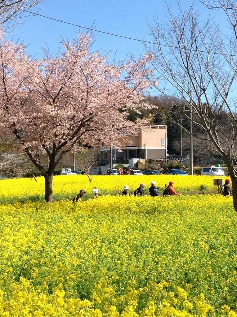 川和駅傍の菜の花と桜