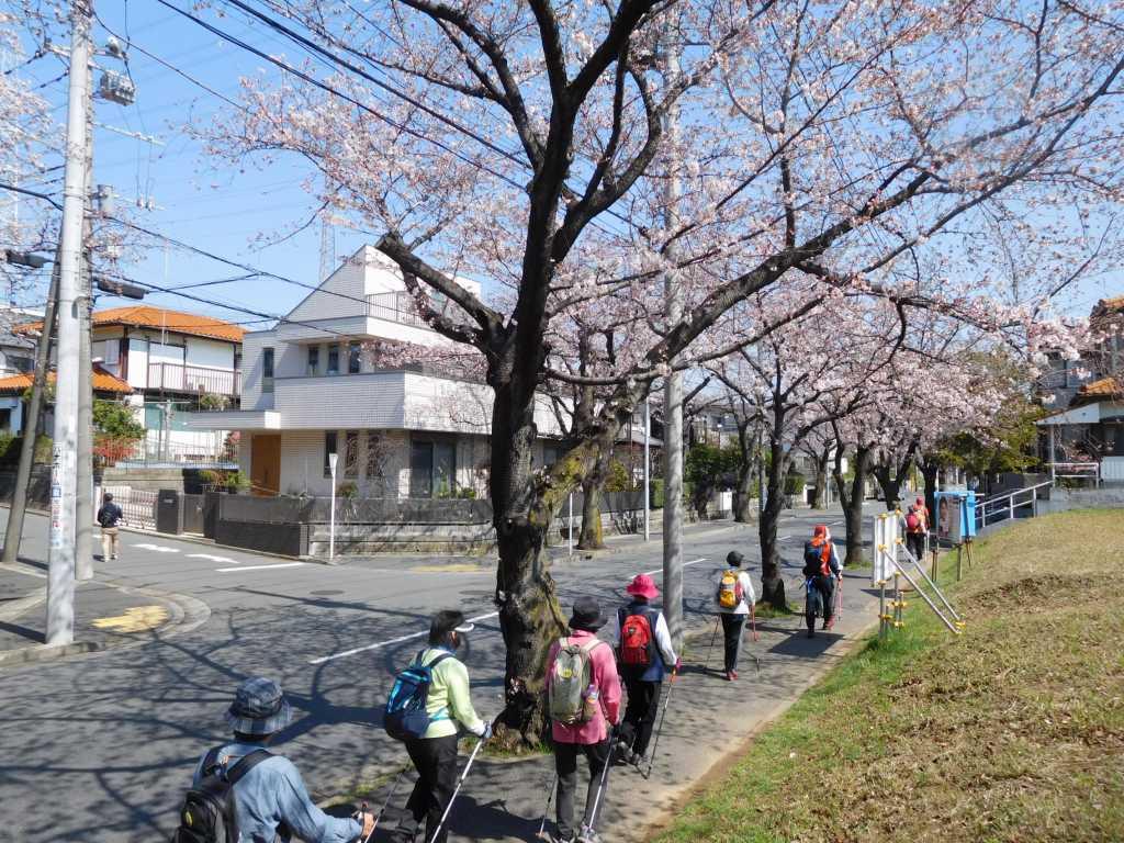 あざみ野第二小学校付近の桜通りをウォーキング