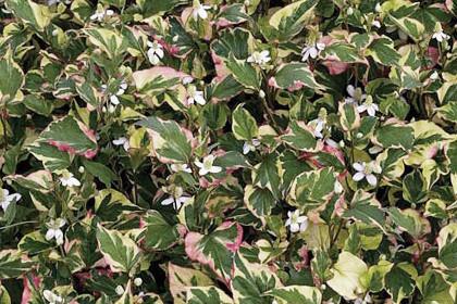 """Asiatische Salat- und Gewürzpflanze  """"Houttuynia cordata"""", bekannt unter dem Namen """"Chamäleonpflanze"""""""