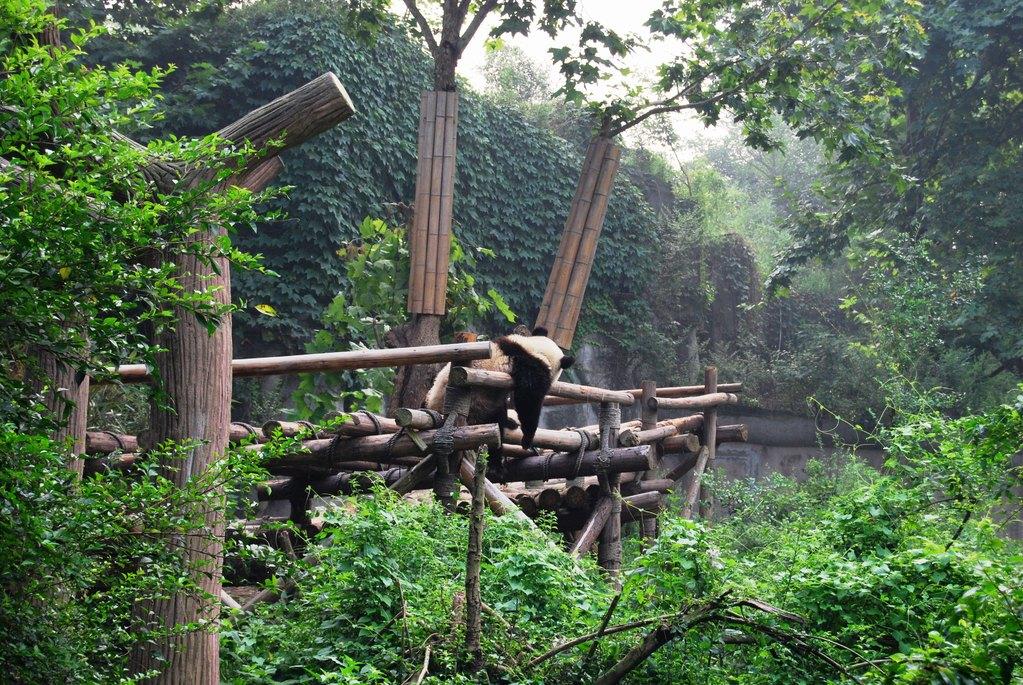 Dans la réserve de pandas à Chengdu