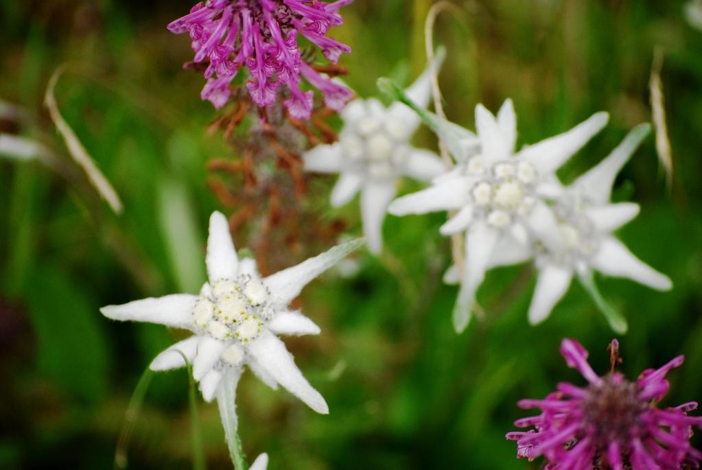Edelweiss (originaire d'Asie)