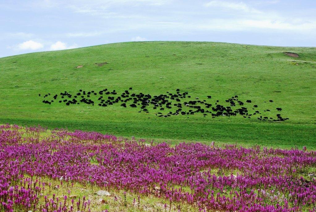Troupeau de yacks et fleurs des champs