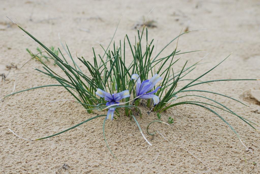 Les fleurs de la steppe