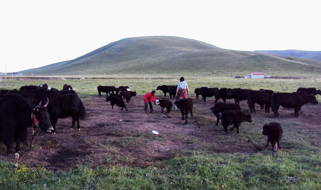 Mère et fille ordonnent et attachent le troupeau de yacks pour la nuit