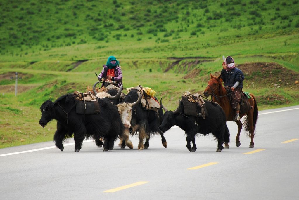 Les femmes tibétaines qui mènent les troupeaux de yacks à cheval