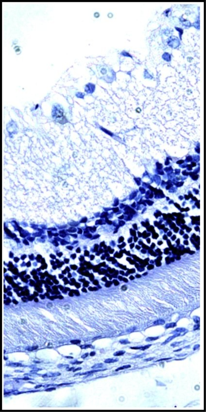 Histological section of rabbit retina, showing its different layers Hematoxylin-eosin staining. Photo: P. Fernández-Martínez