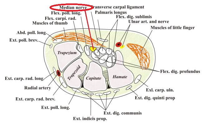 *Median nerve=正中神経
