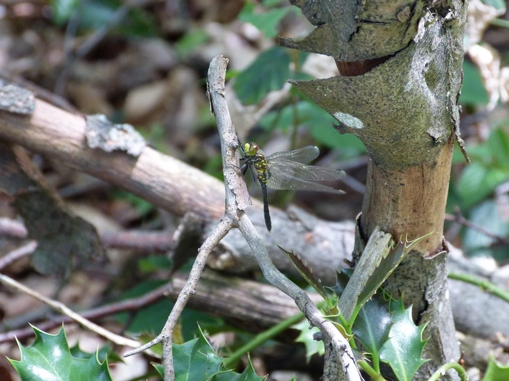 Leucorrhina caudalis