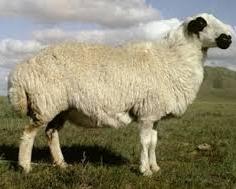 Mongolische Schafwolle