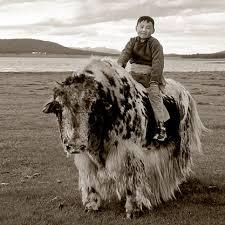 Yak Stier der Nomaden