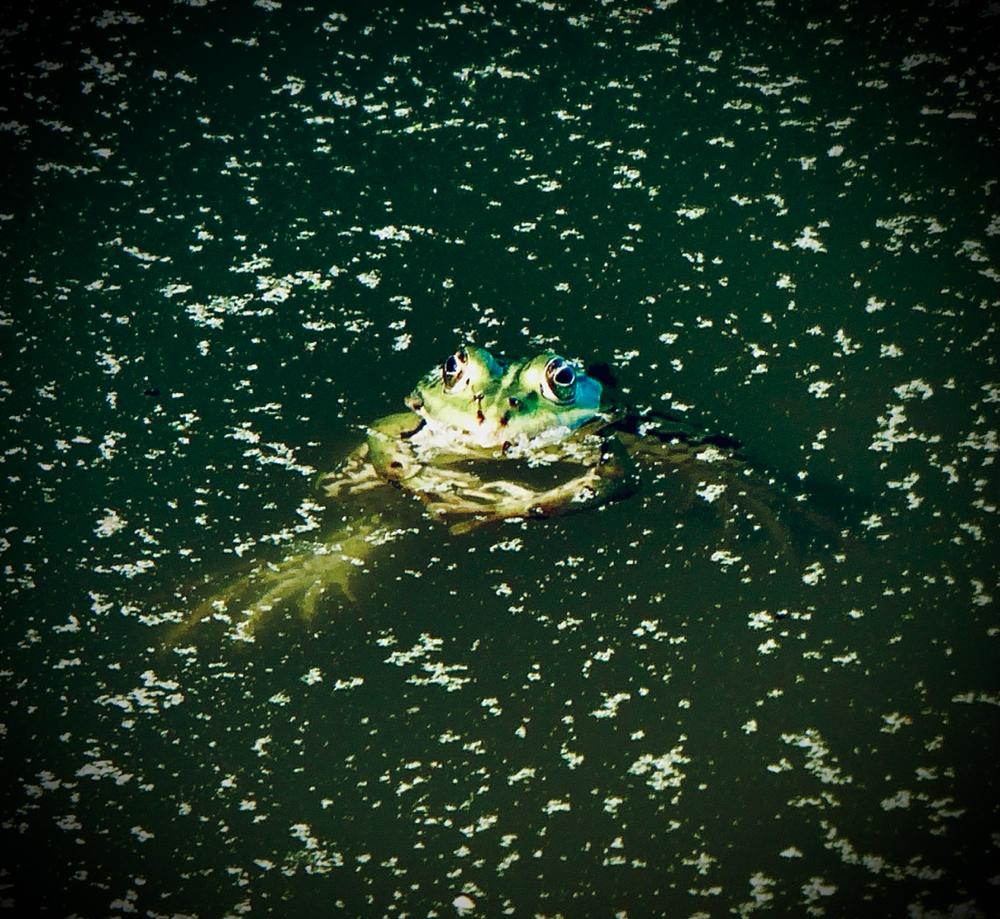 Heute mal ein anderes Tierchen aus der Gattung Schwimmende Schnäuzchen - Froggy ist zu Besuch in unserem Garten. Er fühlt sich sichtlich wohl ... 🐸