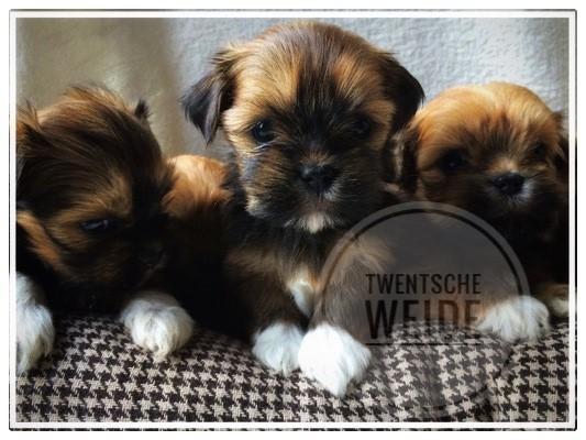 lieve-bruine-kruising-boomer-pups-een-beetje-eigenwijs