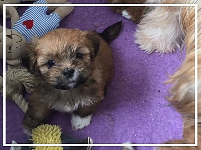 Donker bruine Boomer pup uit kruising