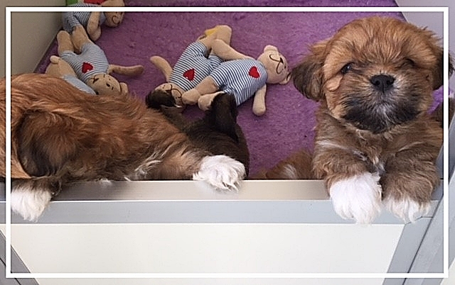 Kruising Boomer puppies