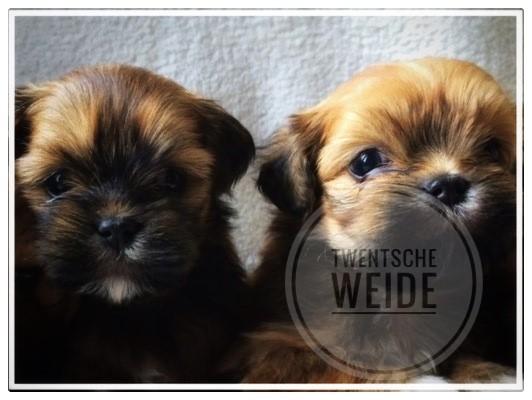 langharige-kleine-vitale-boomer-pups-spelen-met-elkaar