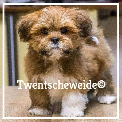 blond Boomer hondje v.d. Twentsche Weide kruising Shih Tzu X Lhasa Apso leeftijd acht weken