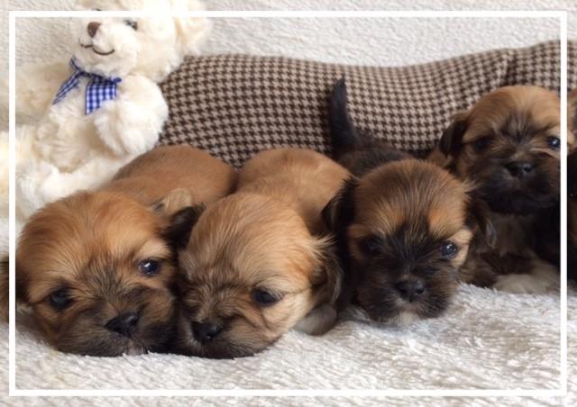 'soorten boomer puppies'