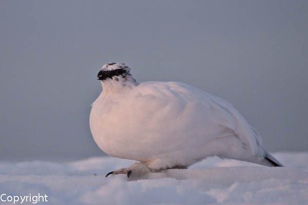 Alpenschneehuhn, Henne im Winterkleid