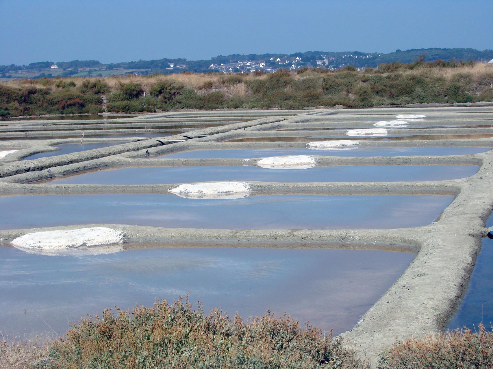 Les oeillets des marais salants de Guérande