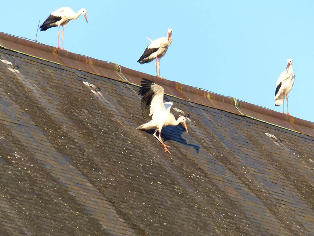 Clic pour accès à Cigognes sur le toit