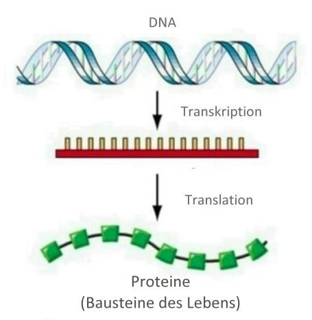 Das zentrale Dogma der Molekularbiologie - absolut ich - die Seite ...