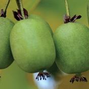 ©Marcynski - Javoy Plantes, variété kiwaï « Kokuwa », le mini-kiwi au goût citron