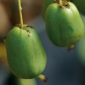 ©Javoy Plantes, variété kiwaï vert, le mini-kiwi au goût sucré