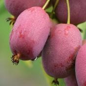 ©Marcynski - Javoy Plantes, variété kiwaï « Bingo », le mini-kiwi au goût ananas