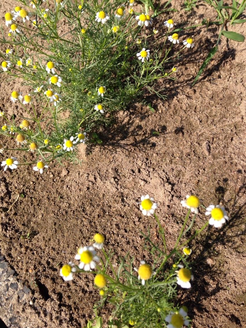 カモミールがまだ頑張って咲いている!