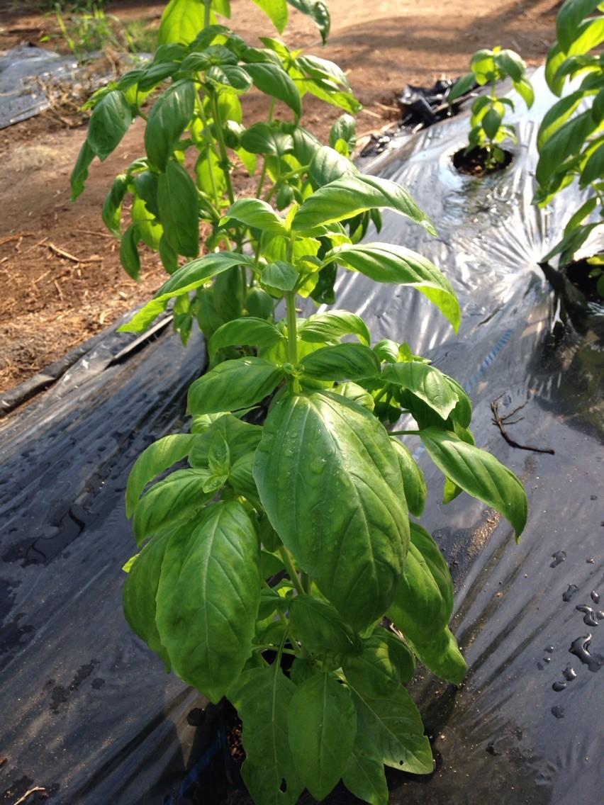 出来るだけ柔らかい葉をペーストにする為、少しずつ時期をずらして育てています♡